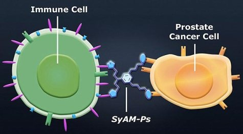 Nhóm nghiên cứu đã sử dụng kháng thể nhân tạo SyAM-Ps bám dính vào kháng nguyên trên bề mặt tế bào ung thư tuyến tiền liệt, trước khi kết nối với tế bào bạch cầu từ hệ miễn dịch để tiêu diệt tế bào bị bệnh. Ảnh: Daily Mail